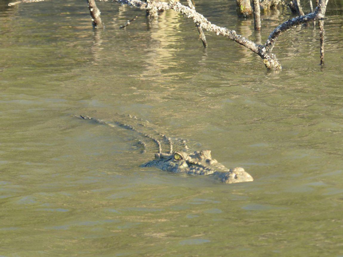 australia bamurru plains crocodile