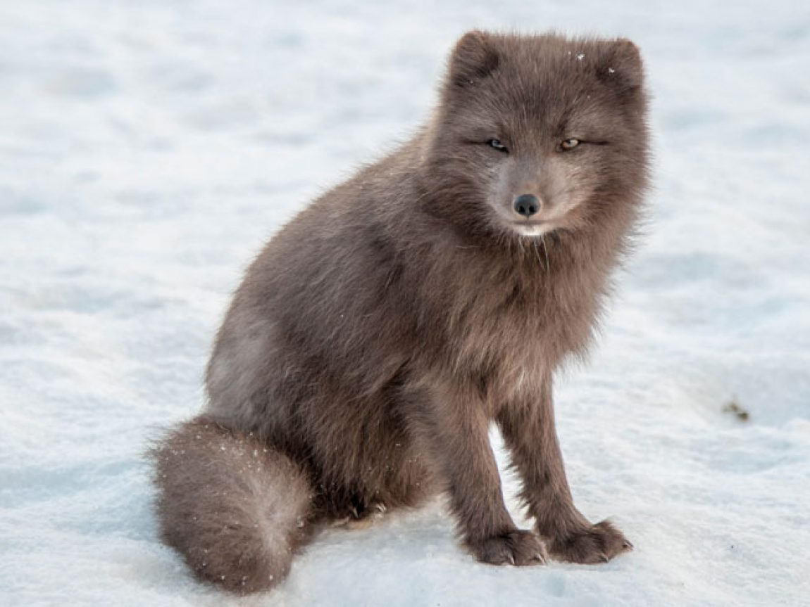 iceland arctic fox kate muggleton