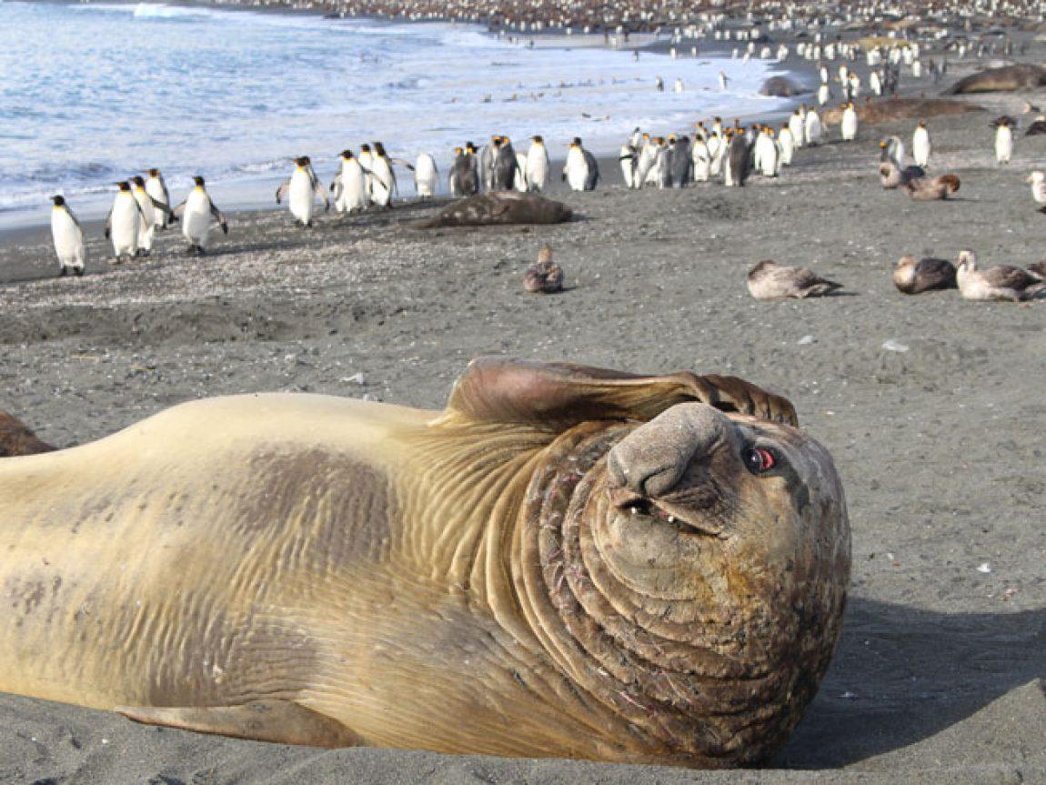 antarctica south georgia elephant seals jo c