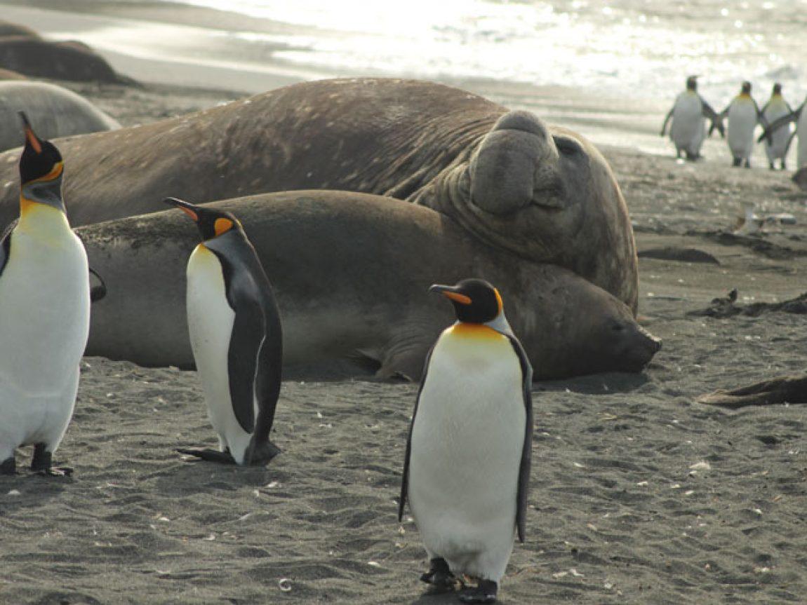 antarctica south georgia elephant seals penguins jo c