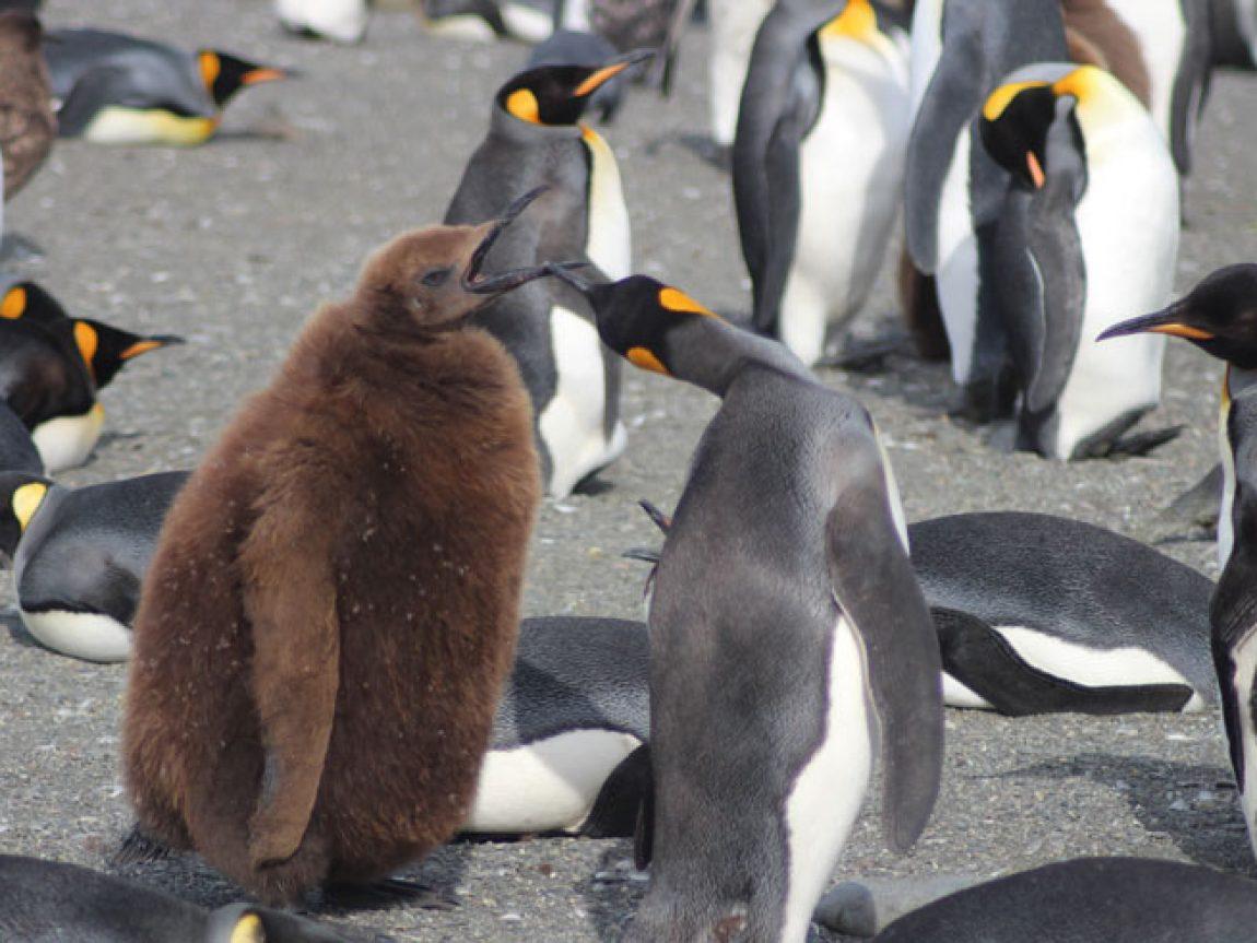 antarctica south georgia king penguins jo c