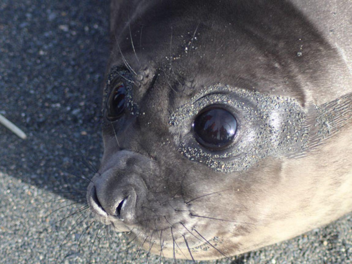 antarctica south georgia seal pup jo c