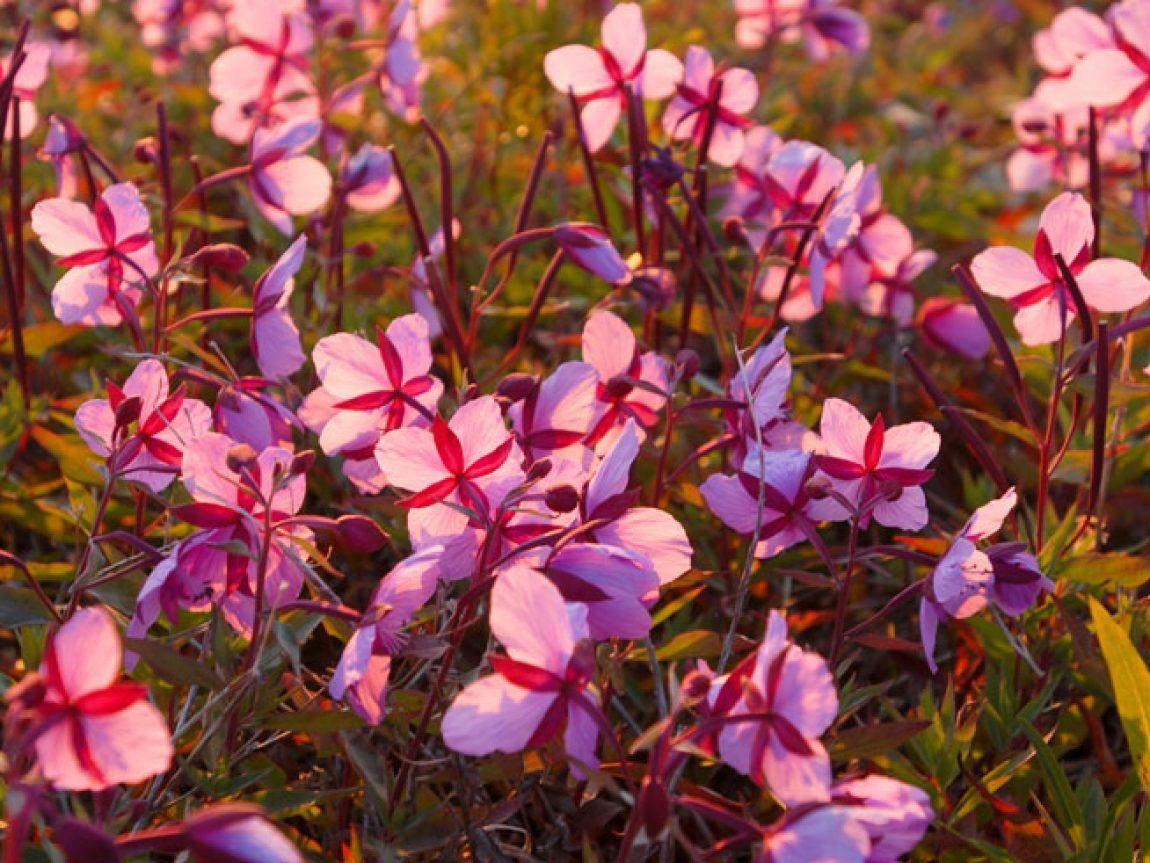 canada yukon fireweed