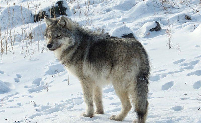 canada churchill arctic wolf v r draper