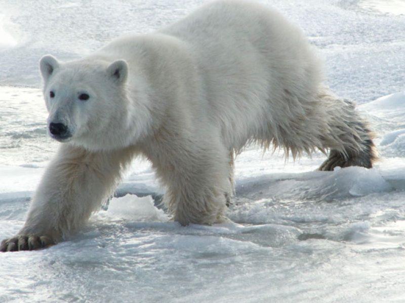 canada churchill polar bear v r draper