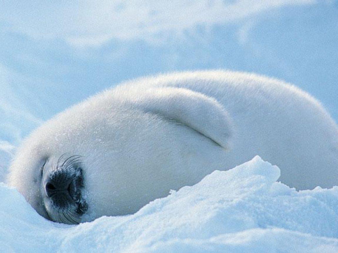 arctic wildlife harp seal spitsbergen