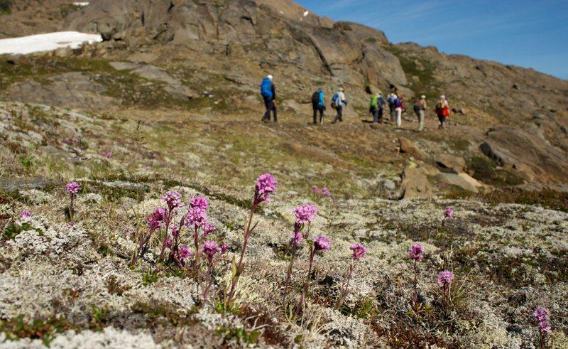 greenland hiking alpine catchfly tundra flower