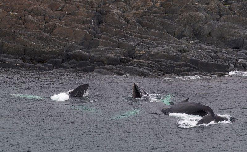 canada newfoundland humpbacks by rocky coast gte