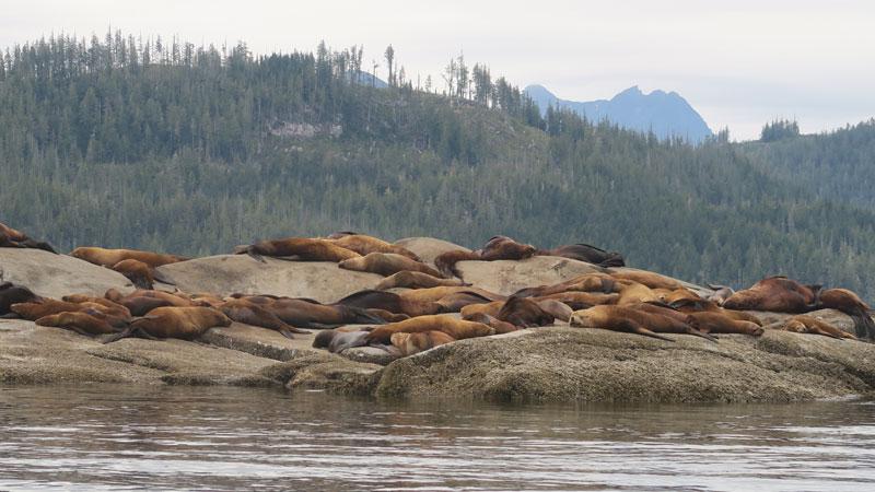 canada bc stellar sea lions lauren gardner