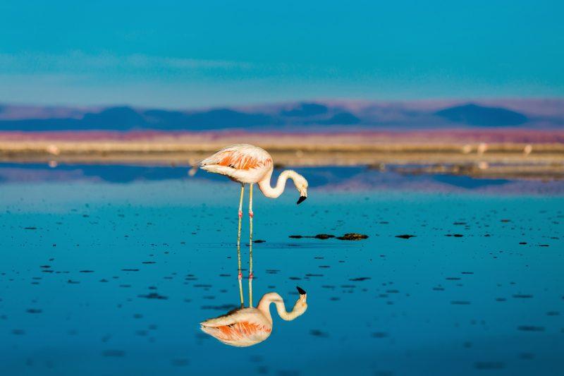 chile atacama flamingo reflection istk