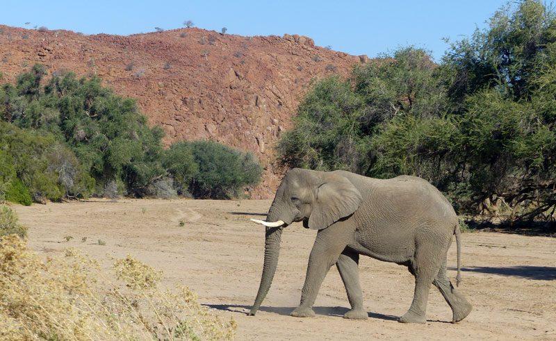 desert adapted elephant damaraland namibia
