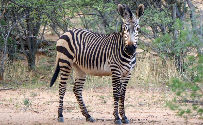 hartmanns mountain zebra okonjima namibia