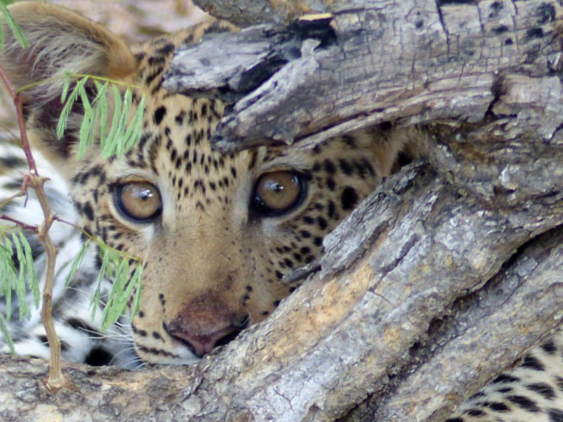 leopard cub portrait okonjima namibia