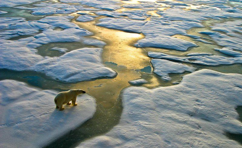 arctic spitsbergen polar bear
