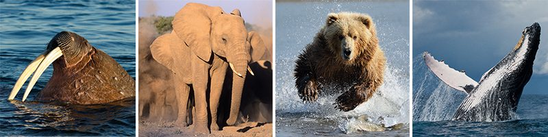 best wildlife holidays walrus african elephant grizzly bear humpback whale