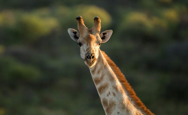 giraffe namibia photography