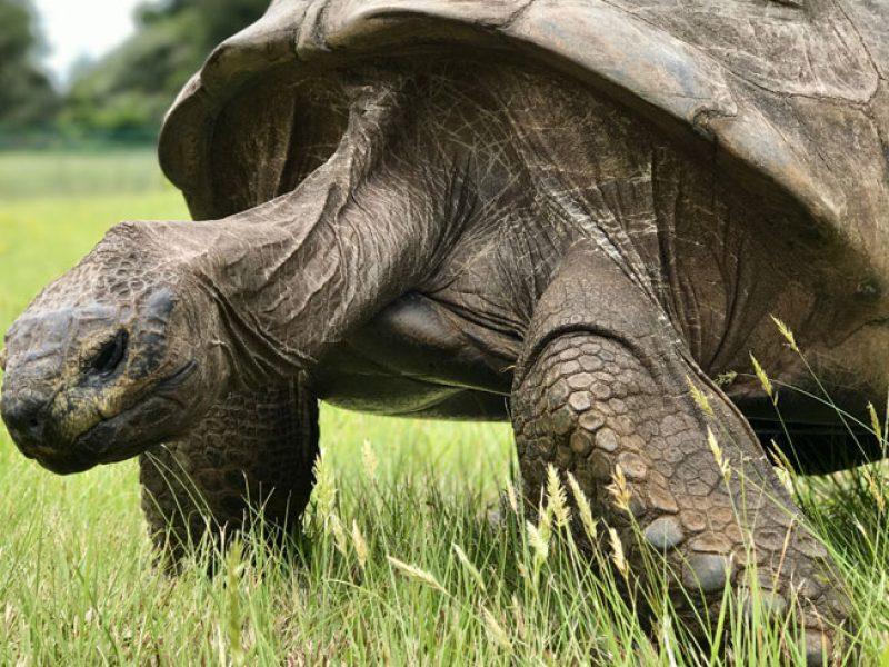 jonathan the giant tortoise st helena emma thomson