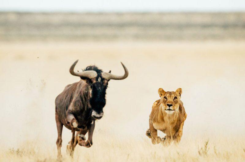lion namibia photography