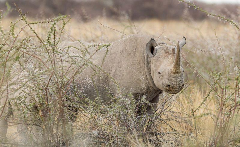 rhino namibia photography