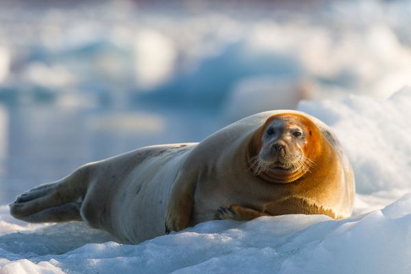 svalbard bearded seal hauled out on ice be