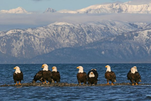 alaska bald eagles istk