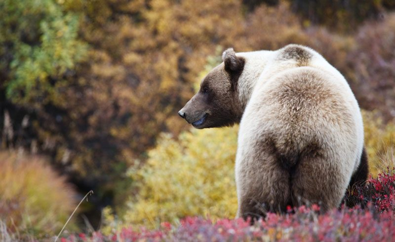 alaska denali national park grizzly bear do