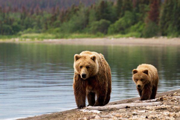 alaska grizzly bears shoreline istk