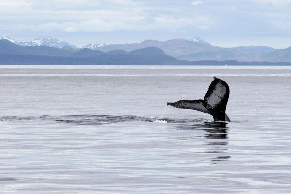 alaska inside passage humpback whale ta