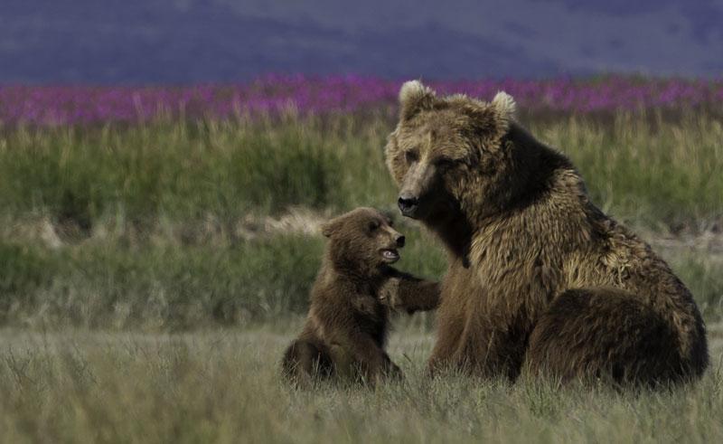 alaska katmai grizzlies mother cub nh