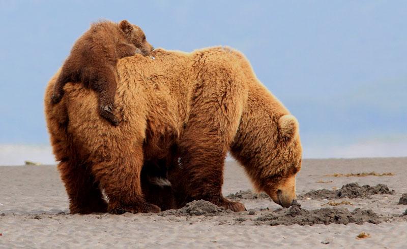 alaska katmai grizzlies piggyback nh