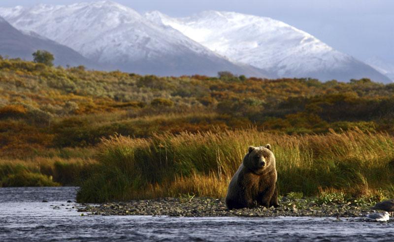 alaska kodiak brown bear istock