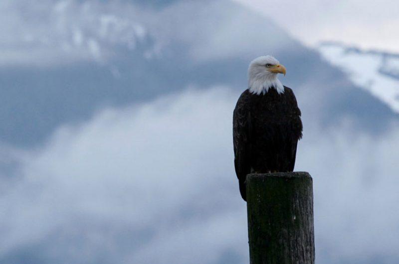 alaska sitka bald eagle atia