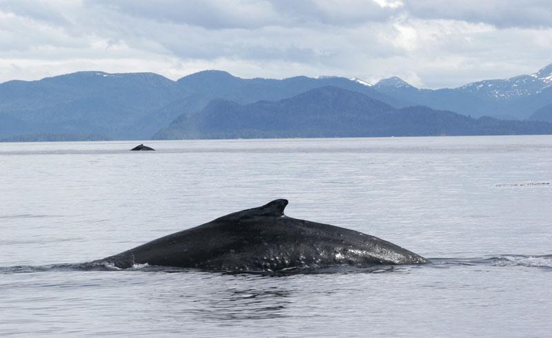 alaska sitka humpback whales atia