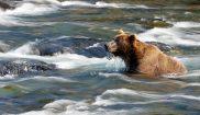 alaska southwest katmai np bears atia