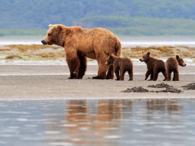 alaska southwest katmai np grizzlies nathb