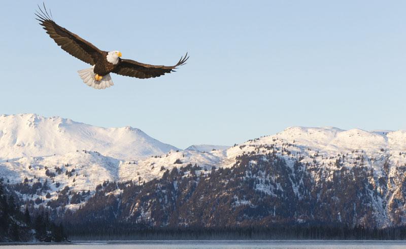 alaska wildlife bald eagle snowy mountains istock