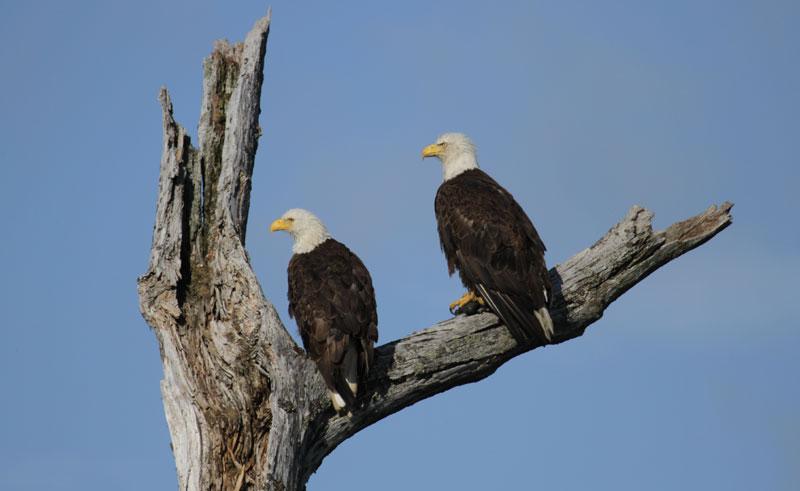 alaska wildlife bald eagles wg