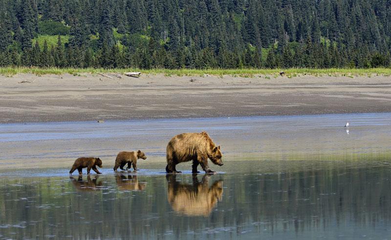 alaska wildlife bears reflection istock