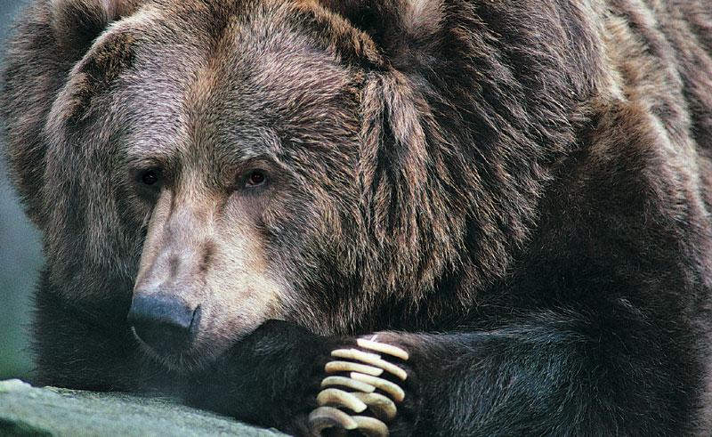 alaska wildlife grizzly bear up close rh