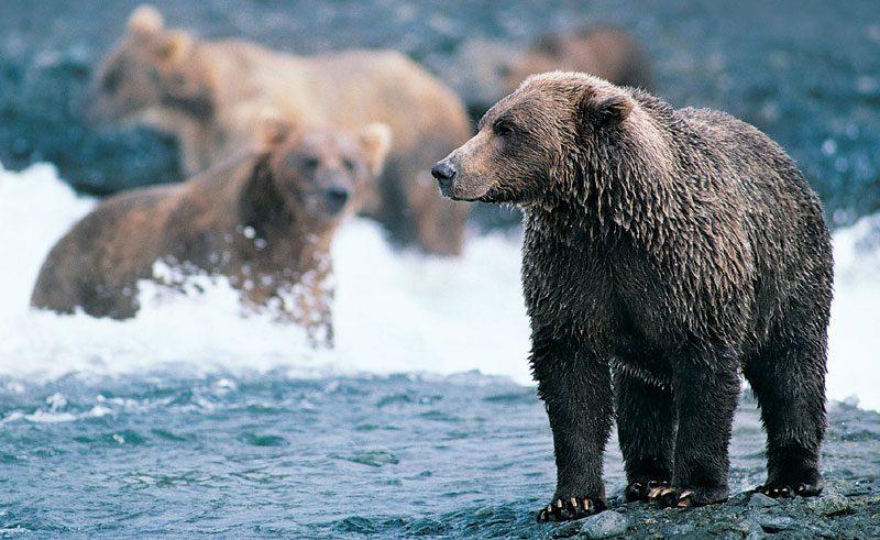 alaska wildlife grizzly bear2 rh