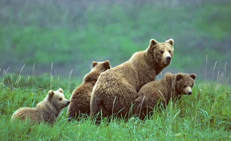 alaska wildlife grizzly bears family bca