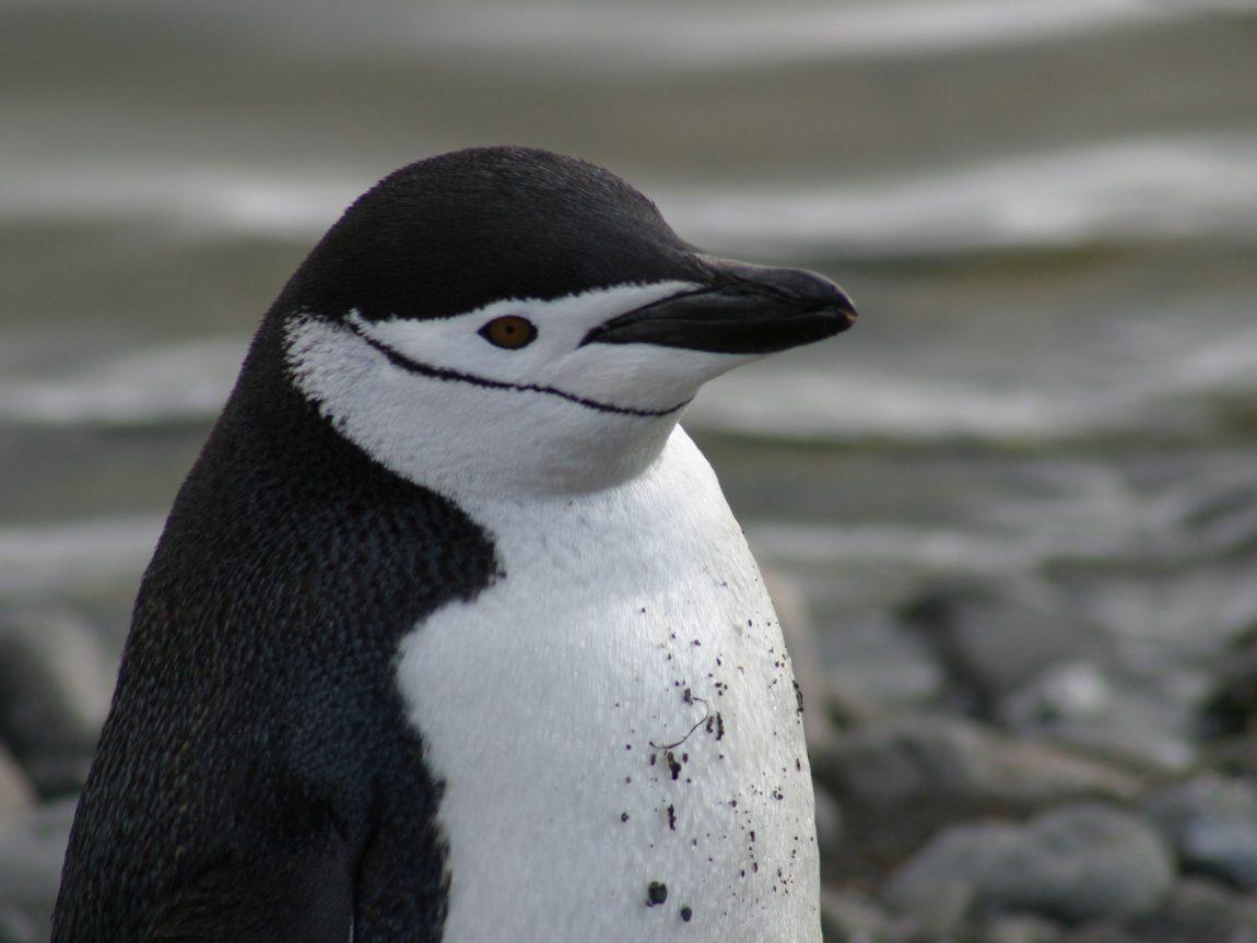 antarctic chinstrap penguin pf