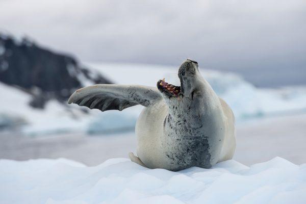 antarctic wildlife crabeater seal istock