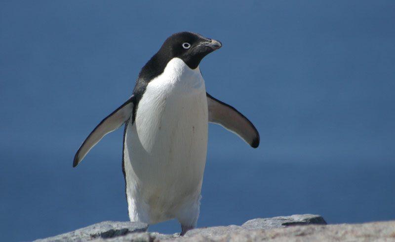 antarctica adelie penguin gt