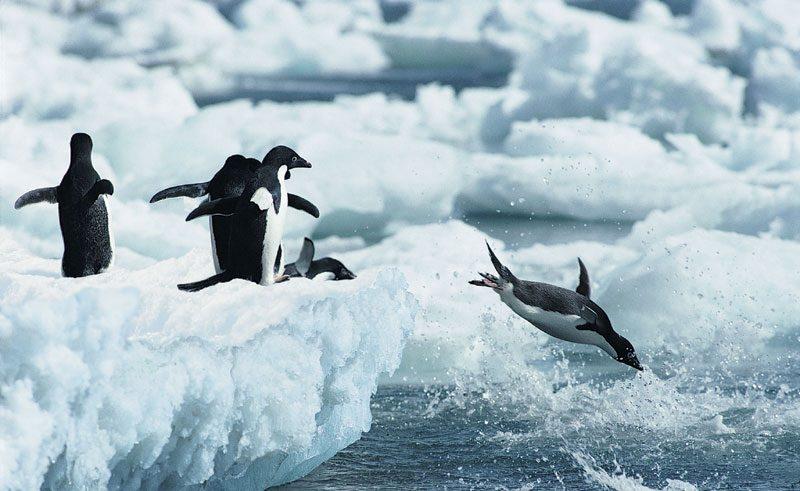 antarctica adelie penguins3 rh