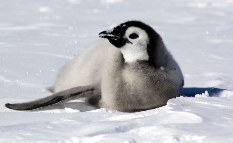 antarctica cape washington emperor penguin chick mkrodger