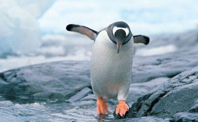 antarctica gentoo penguin rh