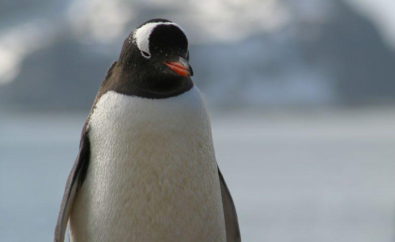 antarctica gentoo penguin3 pf