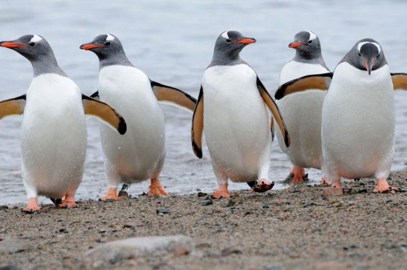 antarctica gentoo penguins qe