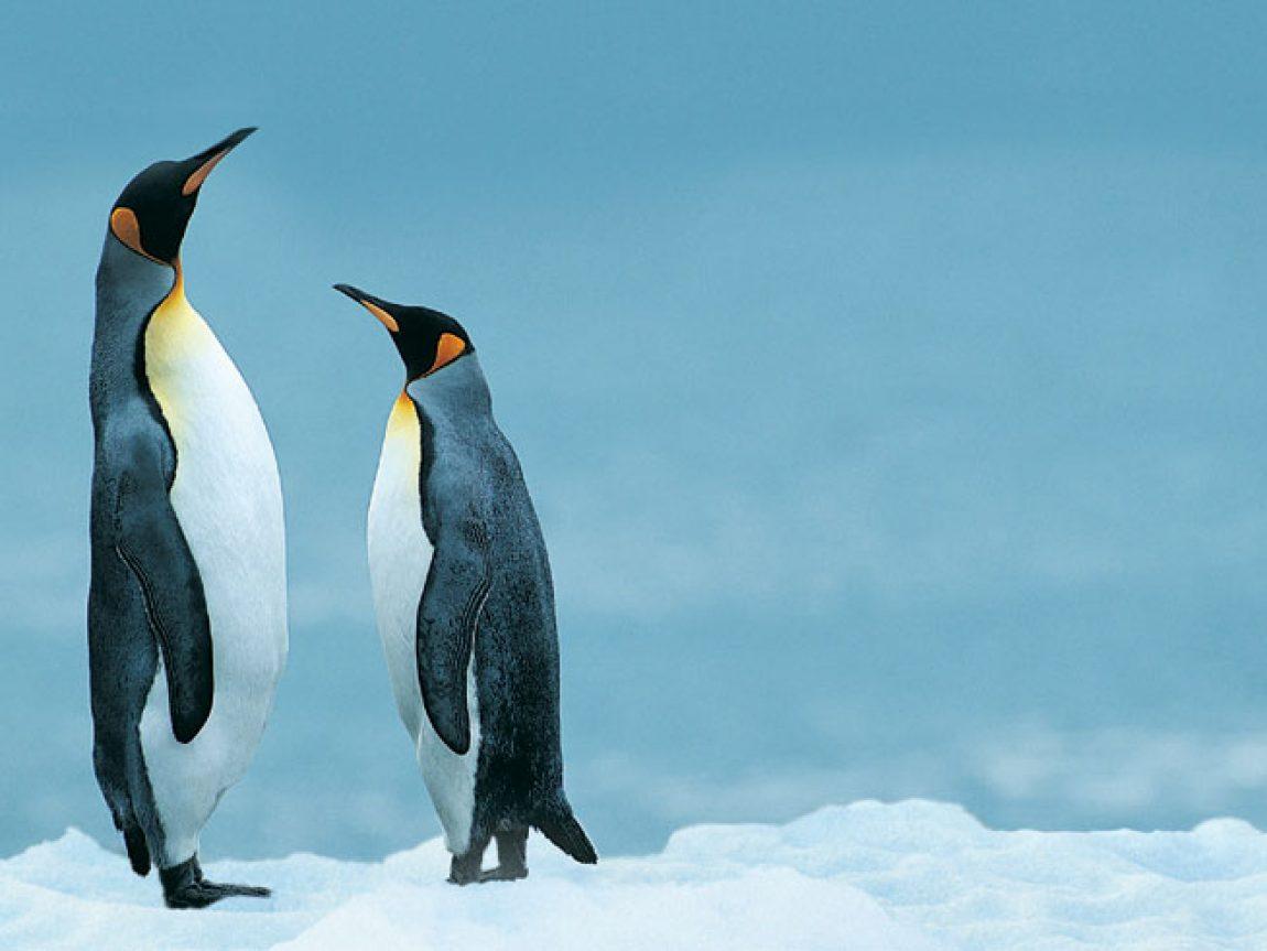antarctica king penguins rh